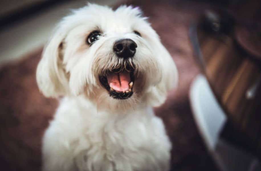 chien bichon maltais heureux