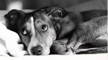 chien couché peur