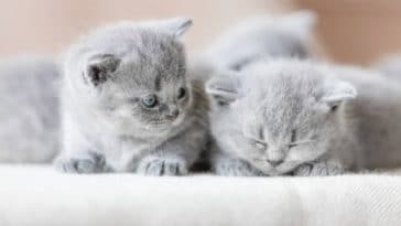 chatons gris British shorthair