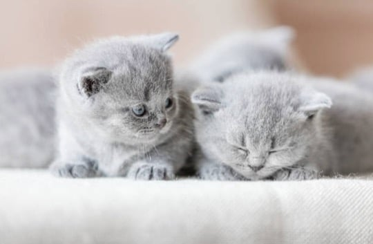 chatons gris British shorthair
