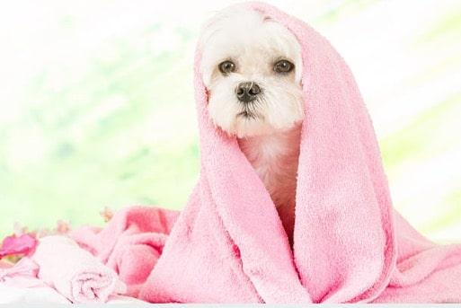 chien serviette bain douche sèche