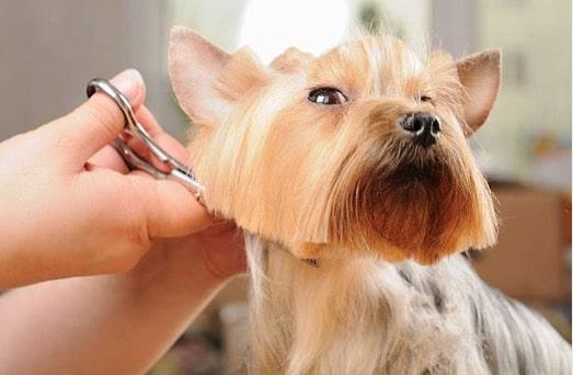 chien coupe ciseaux poils toilette