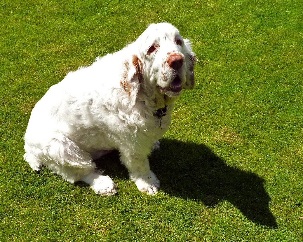 chien clumber spaniel