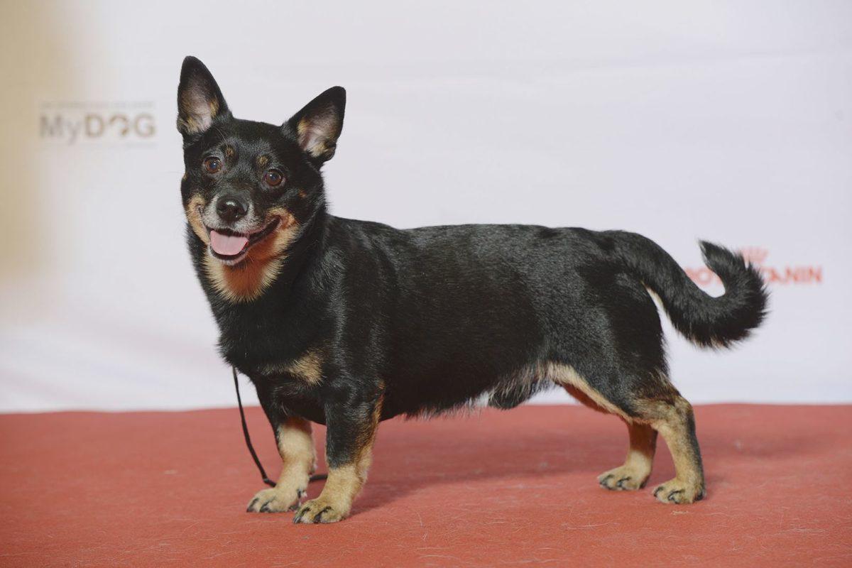 chien lancashire heeler