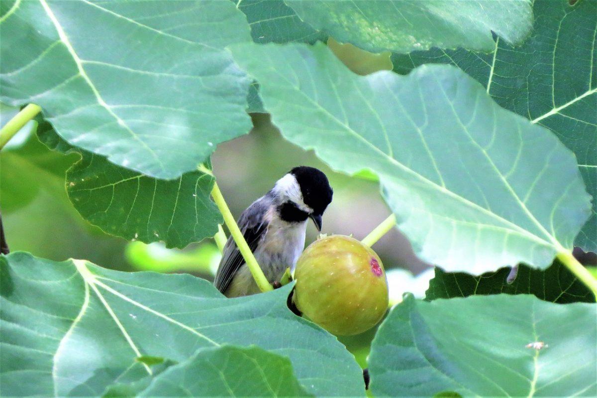 oiseau mésange mange fruit figue
