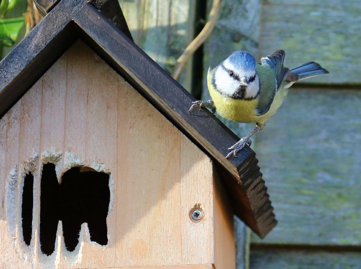 oiseau mésange bleue nichoir