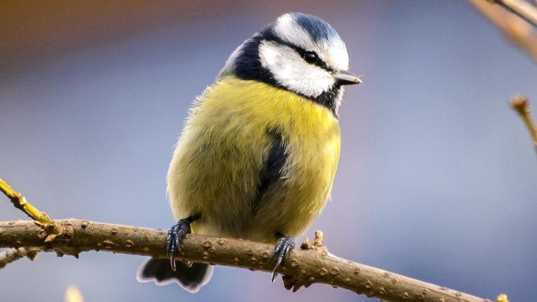 oiseau mésange bleue