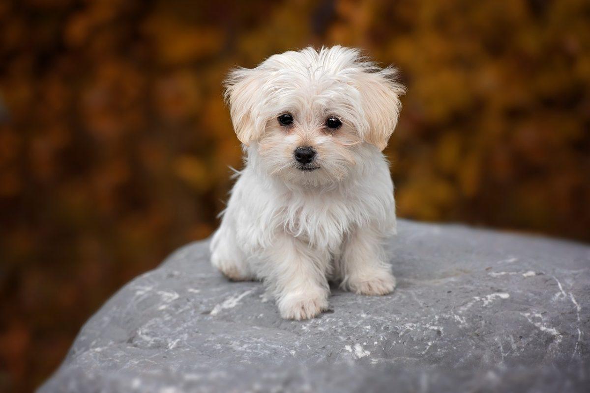 chien chiot bichon maltais