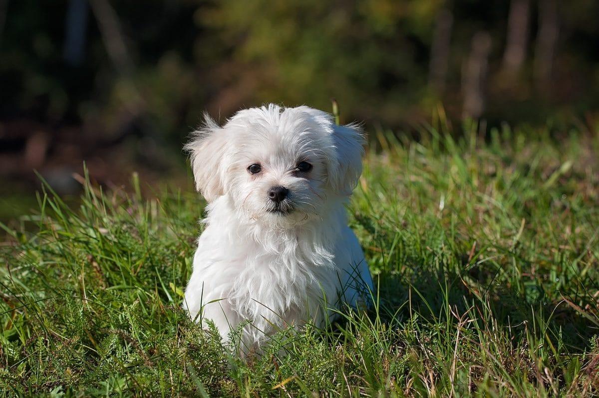 chien bichon maltais herbe