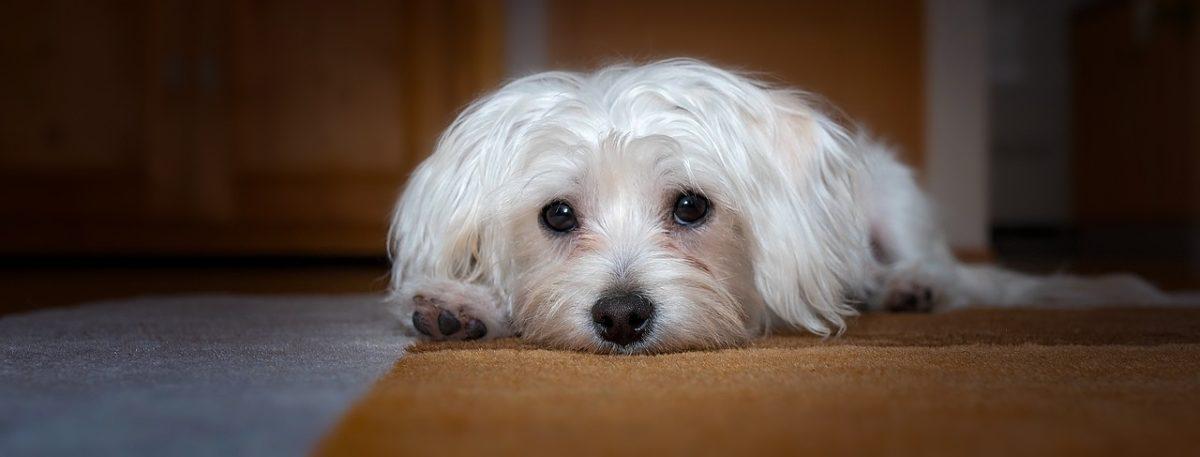 chien bichon maltais couché triste