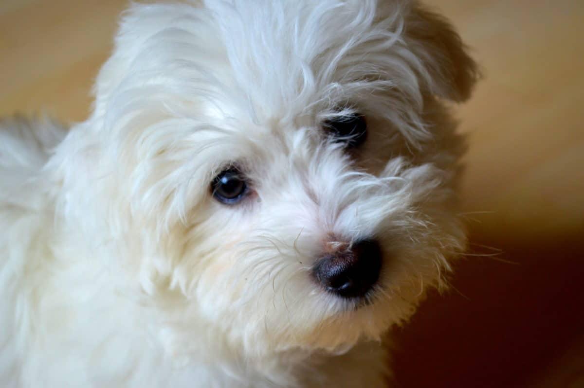 chien bichon maltais regard