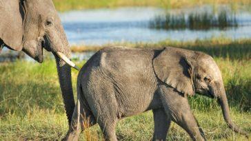 éléphant bébé éléphanteau