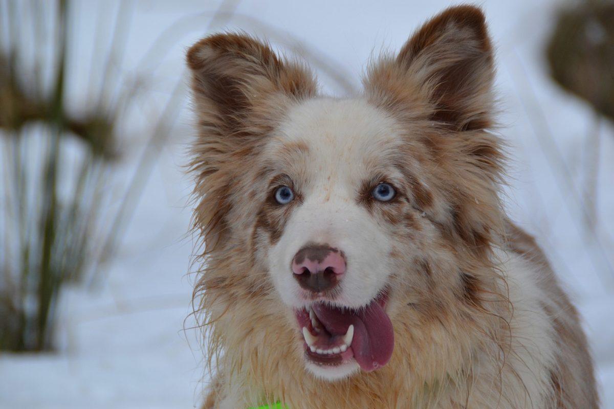 chien border collie rouge