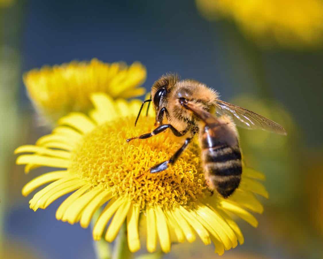 abeille tournesol