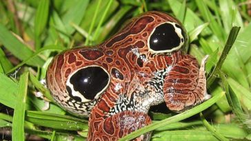 grenouille naine de cuyaba