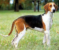 chien anglo français de petite vénerie