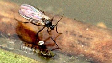 moucheron insecte