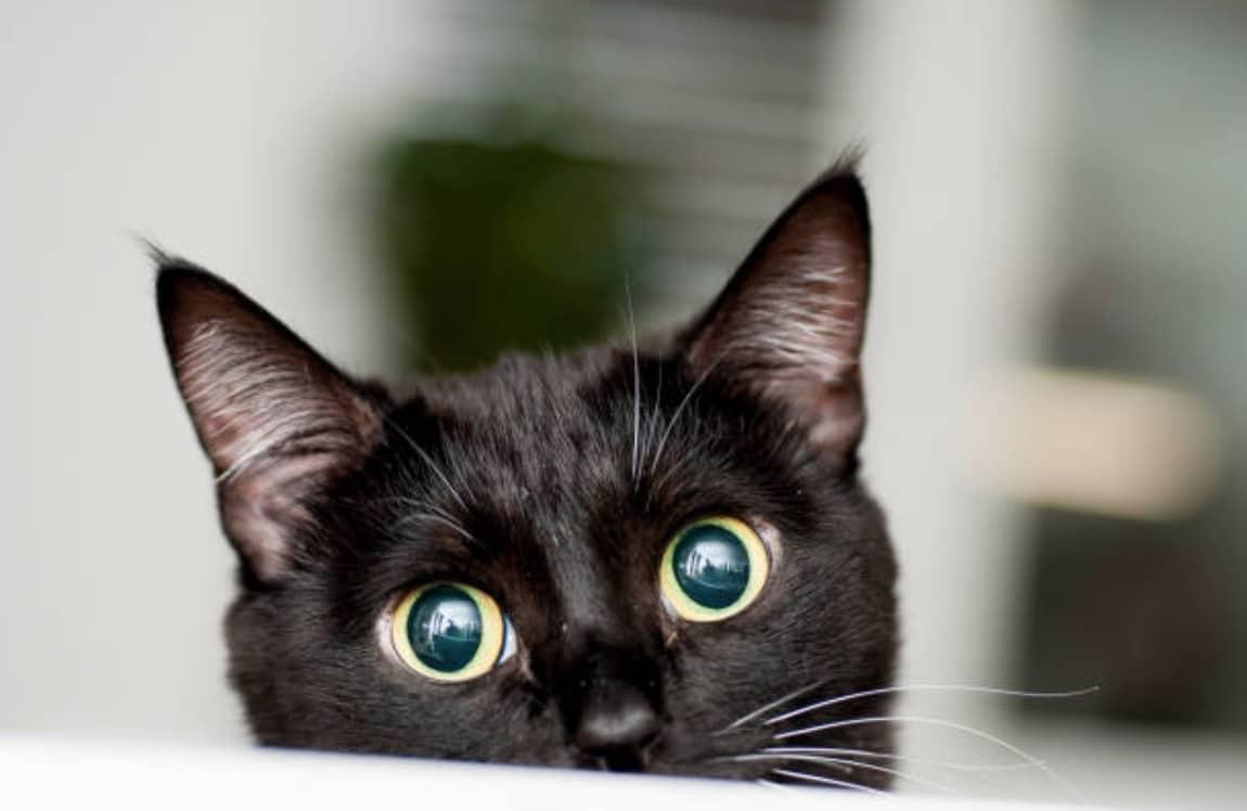 chat noir tête
