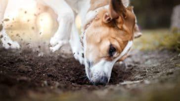 chien creuse trou