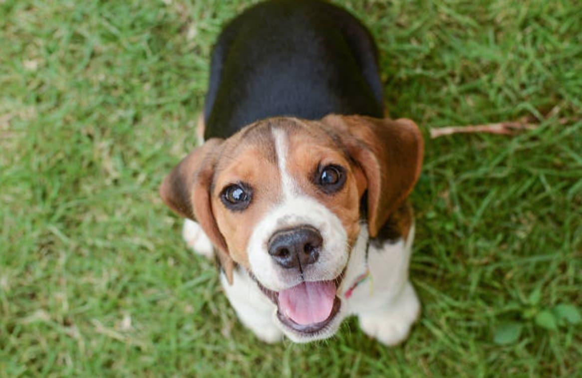 chien beagle heureux