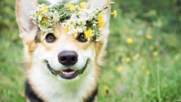 chien welsh corgi