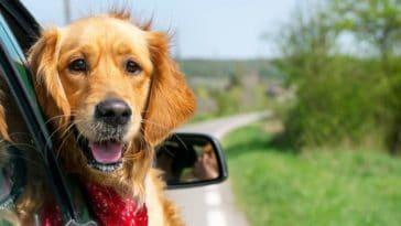 chien golden retriever voiture vacances voyage