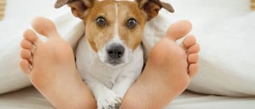chien jack russell lit pieds