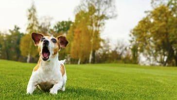 chien joue herbe aboie