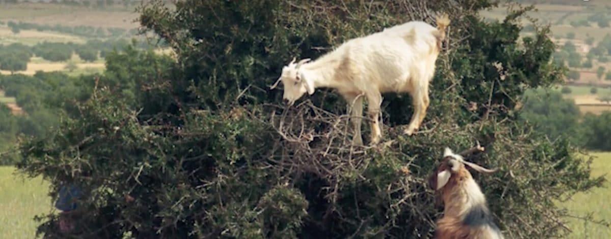 chèvres arbre