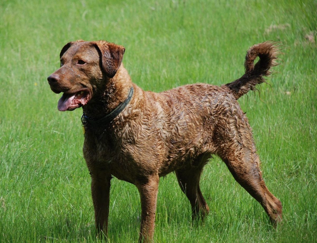 chien Chesapeake Bay Retriever