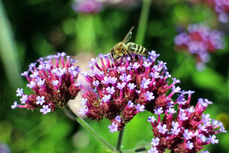 abeille verveine