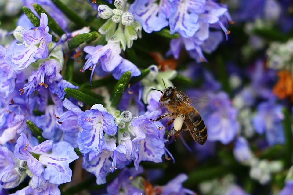 abeille romarin