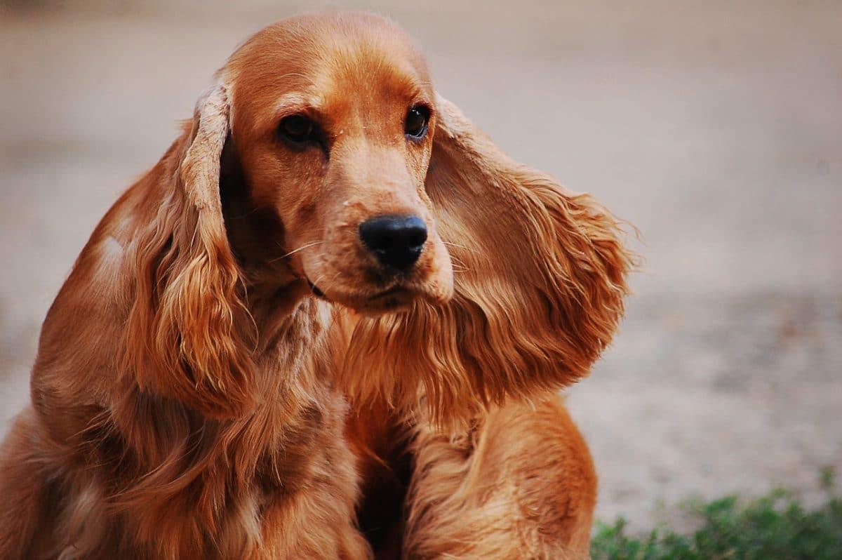 chien cocker anglais