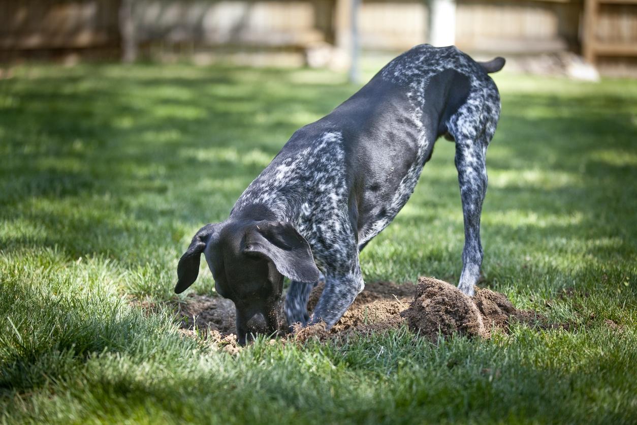 chien creuse