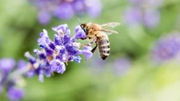 abeille lavande