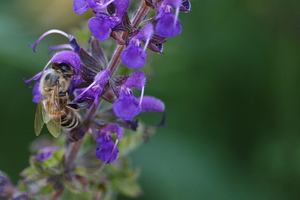 abeille sauge