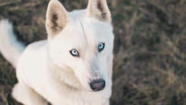 chien husky blanc
