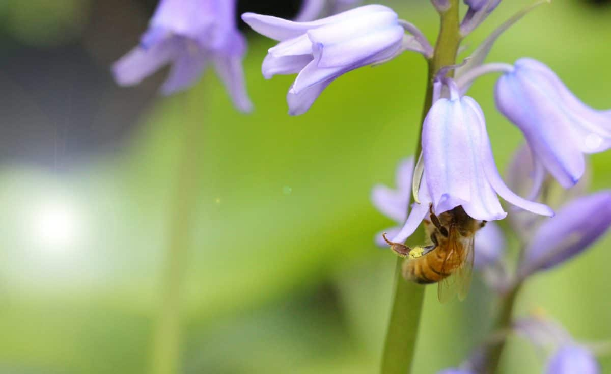 abeille campanule