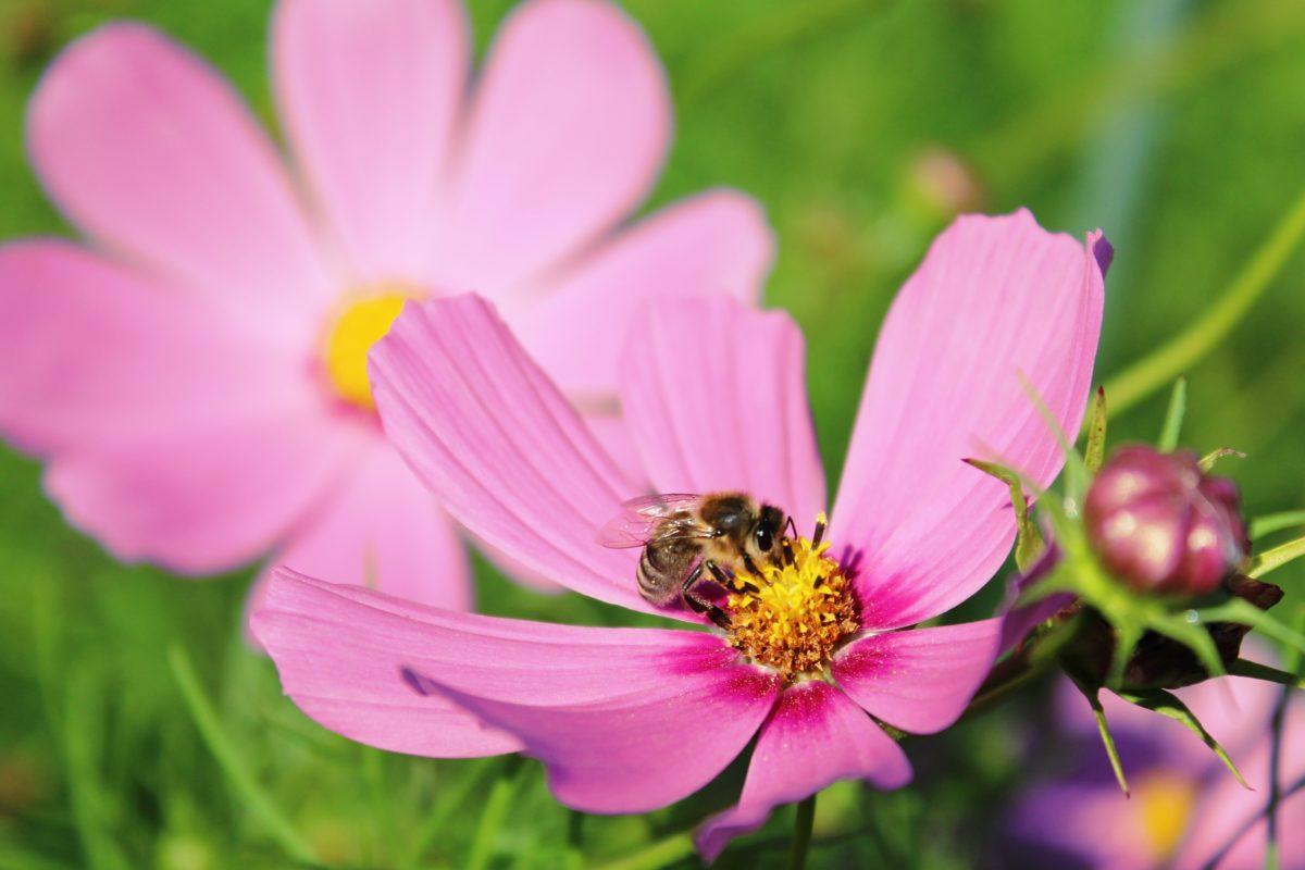 abeille cosmos