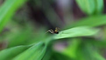 araignée plante