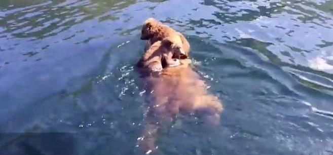 oursons grizzlis lac