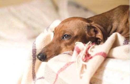 chien teckel couché triste