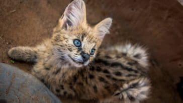 bébé serval
