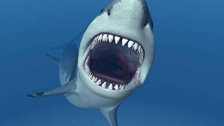 requin blanc