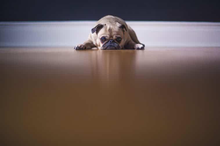 chien couché triste