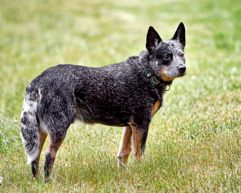 chien bouvier australien