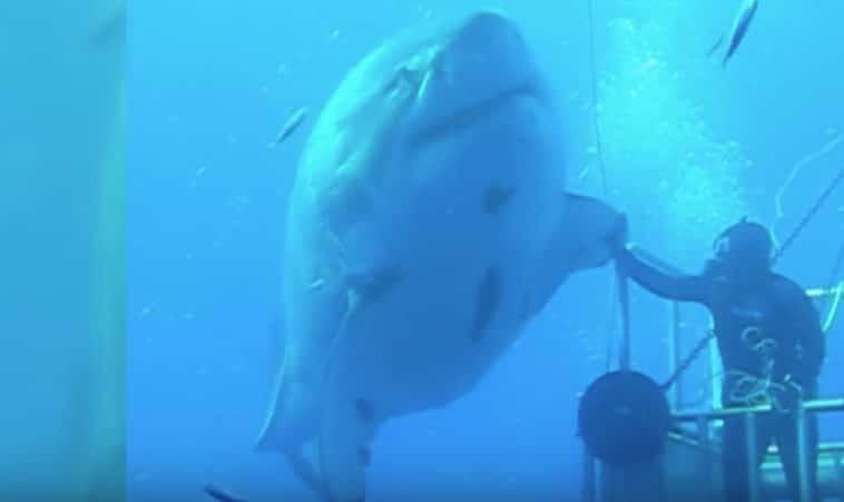 deep blue requin