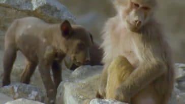 chien babouin