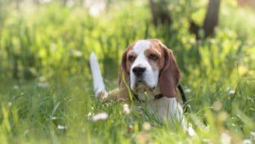 chien beagle couché herbe