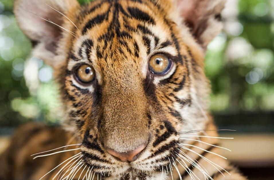 bébé tigre tigreau